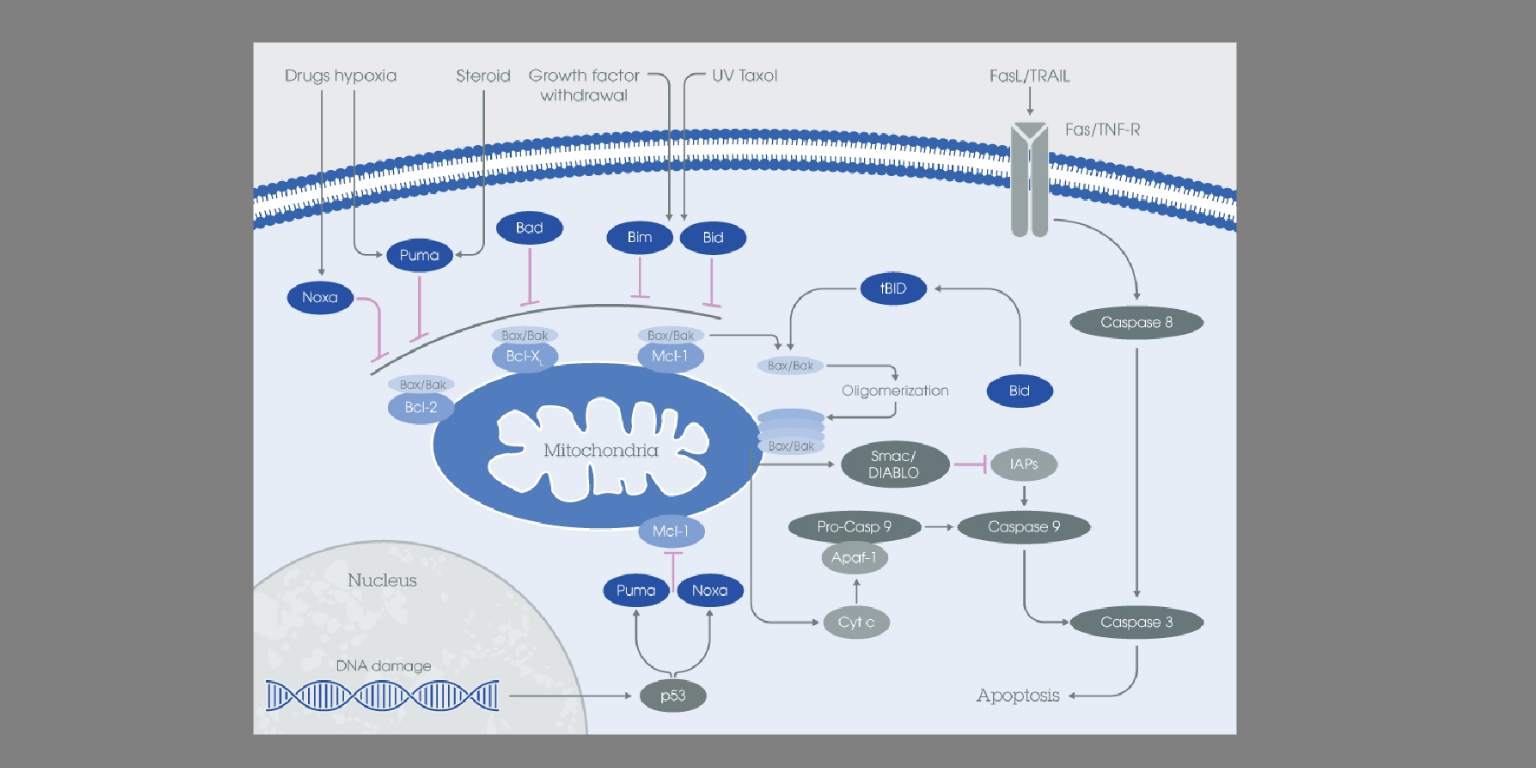 Bcl-2: apoptosis checkpoint family