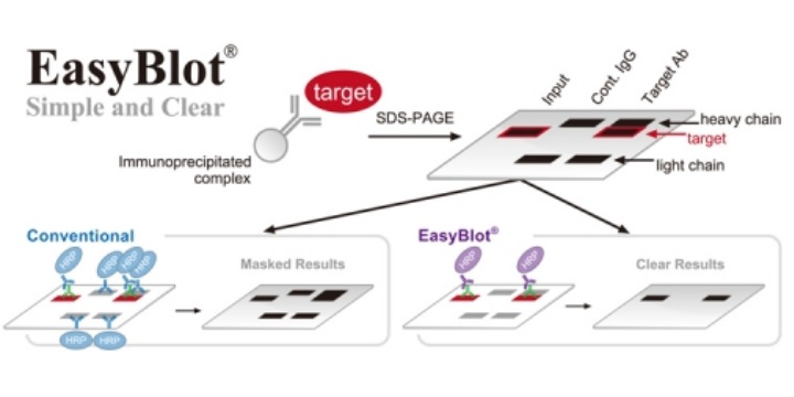 GENETEX: MAKE YOUR PERFECT IP-WB BLOT EASY
